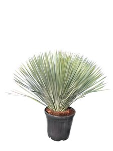 Yucca rostrata - totale hoogte 100-120 cm - pot Ø 38 cm