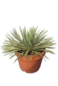 Yucca whipplei - totale hoogte 30-40 cm - pot Ø 15 cm