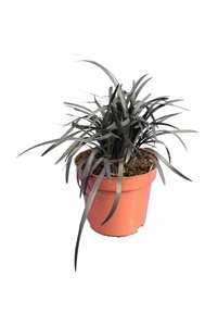 Ophiopogon planiscapus Niger - pot Ø 11 cm