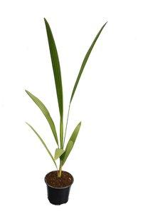 Chamaerops humilis - totale hoogte 50-70 cm - pot Ø 13 cm