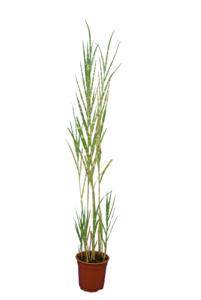 Miscanthus sinensis Strictus - totale hoogte 60+ cm - pot Ø 17 cm