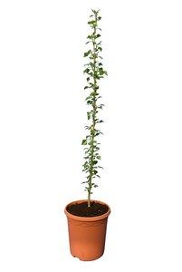 Populus nigra Italica - totale hoogte 100+ cm - pot Ø 22 cm