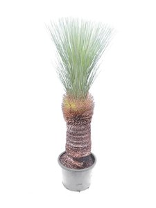 Xanthorrhoea glauca - stam 60-70 cm [pallet]