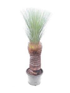 Xanthorrhoea glauca - stam 70-80 cm [pallet]
