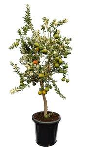 Citrus myrtifolia - stam 50-70 cm - totale hoogte 150-170 cm - pot 40 cm [pallet]