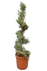 Olea europaea Spiraal - totale hoogte 130-150 cm - pot Ø 35 cm