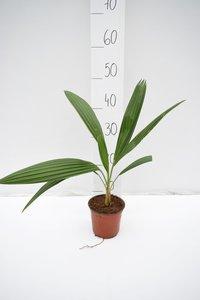 Brahea edulis - totale hoogte 40-60 cm - pot Ø 13 cm