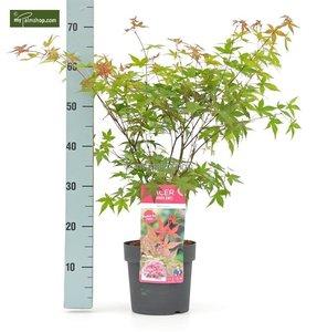 Acer palmatum Beni-maiko - totale hoogte 50-60 cm - pot 3 ltr