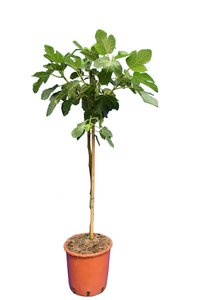 Ficus carica Brown Turkey - stam 60-80 cm - Ø 28 cm pot