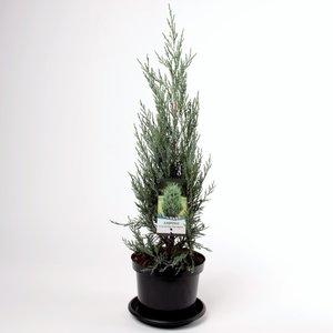 Juniperus scopulorum Moonglow - totale hoogte 70-80 cm - pot 3 ltr