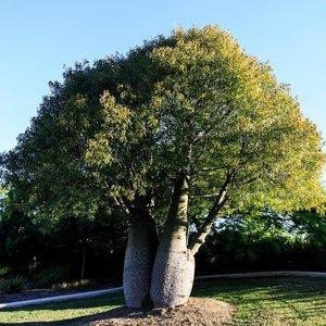 Brachychiton rupestris - struik - totale hoogte 50-60 cm - pot Ø 17 cm