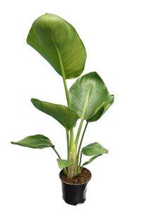 Strelitzia augusta - pot Ø 14 cm