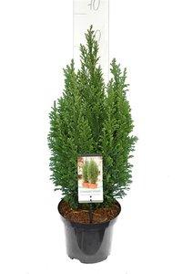 Chamaecyparis lawsoniana Elwoodii - totale hoogte 60-80 cm - pot 3 ltr