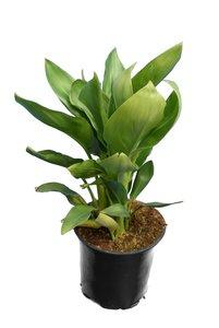 Strelitzia reginae - totale hoogte 30-50 cm - pot Ø 13 cm