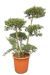 Olea europaea - Bonsai - totale hoogte 140-160 cm - pot Ø 40 cm [pallet]