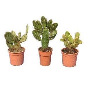 Cactus mix set van 3 - totale hoogte 30-40 cm - pot Ø 15 cm