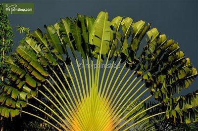 Ravenala madagascariensis - totale hoogte 30+ cm - pot Ø 15 cm