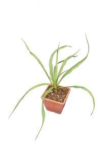 Yucca rupicola - pot 14 x 14 cm