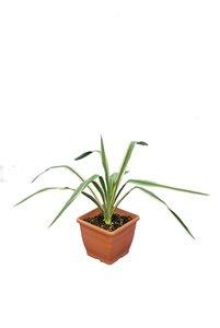Yucca filamentosa Bright Edge - pot 14 x 14 cm