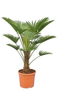 Trachycarpus wagnerianus - stam 20-30 cm - totale hoogte 80-100 cm - pot Ø 30 cm