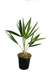 Trachycarpus fortunei - totale hoogte 40-60 cm - pot Ø 15 cm