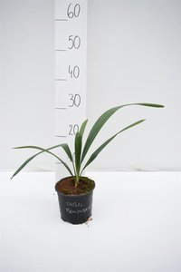 Sabal bermudana - totale hoogte 30-40 cm - pot Ø 13 cm