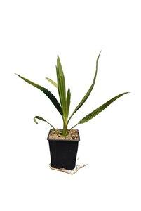 Phoenix canariensis - totale hoogte 30-40 cm - pot 11 x 11 cm