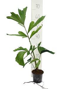 Caryota mitis - totale hoogte 40-60 cm - pot Ø 14 cm