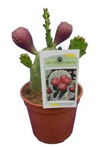 Opuntia vulgaris - totale hoogte 20-40 cm - pot Ø 13 cm