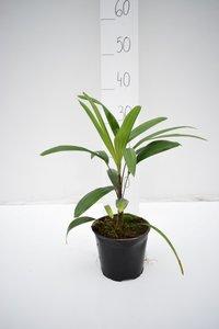 Rhapis excelsa - totale hoogte 30-40 cm - pot Ø 13 cm