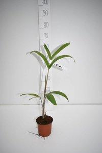 Wodyetia bifurcata - totale hoogte 30-50 cm - pot Ø 13 cm