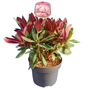 Rhododendron Wine & Roses - totale hoogte 35-45 cm - pot 22 cm