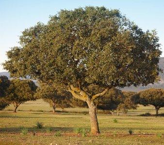 Quercus ilex - totale hoogte 130+ cm - pot Ø 21 cm