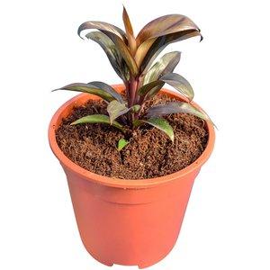 Cordyline fruticosa Dolly - totale hoogte 25-35 cm - pot Ø 17 cm
