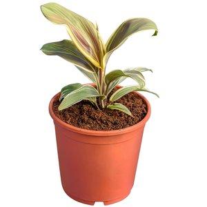 Cordyline fruticosa Chocolate Queen - totale hoogte 30-40 cm - pot Ø 17 cm